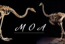 Photo of Moa (Dinornithiformes) – giant birds