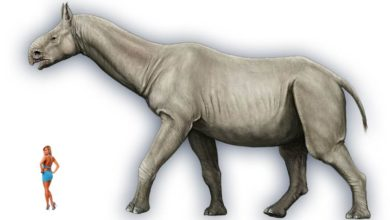 Photo of Paraceratherium, Indricotherium, Baluchitherium