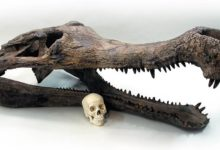 Photo of Sarcosuchus – SuperCroc