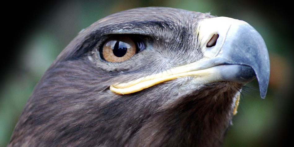 Photo of Steppe eagle –  a thief and a slyboots