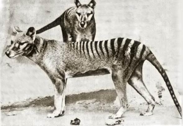 Thylacine, Tasmanian tiger
