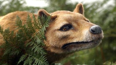 Photo of Tasmanian tiger, Tasmanian wolf (Thylacine)