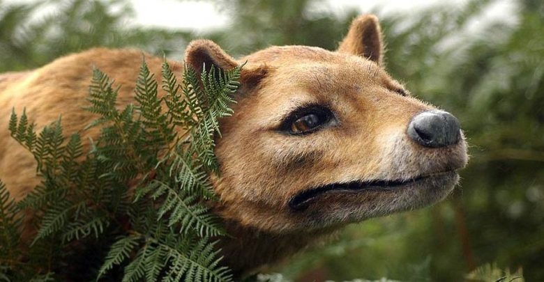 Photo of Tasmanian tiger, Tasmanian wolf (Thylacine)