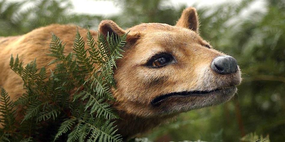 tasmanian tiger tasmanian wolf thylacine dinoanimals com