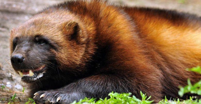 Photo of Wolverine – brave glutton