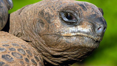 Photo of Aldabra giant tortoise (Aldabrachelys gigantea)