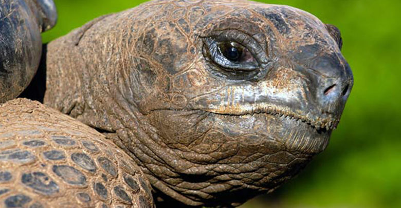 Photo of Aldabra giant tortoise (Aldabrachelys gigantea)