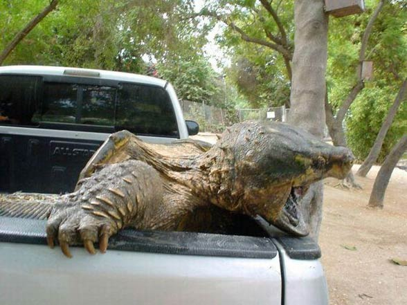 Alligator Snapping Turtle Powerful Jaws Dinoanimals Com