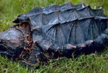Photo of Alligator snapping turtle – powerful jaws