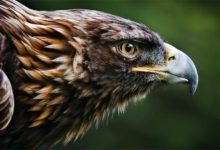 Photo of Golden eagle (Aquila chrysaetos) – king of the skies