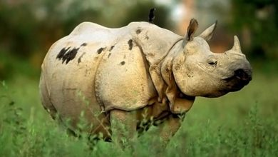 Photo of Indian rhinoceros, greater one-horned rhino