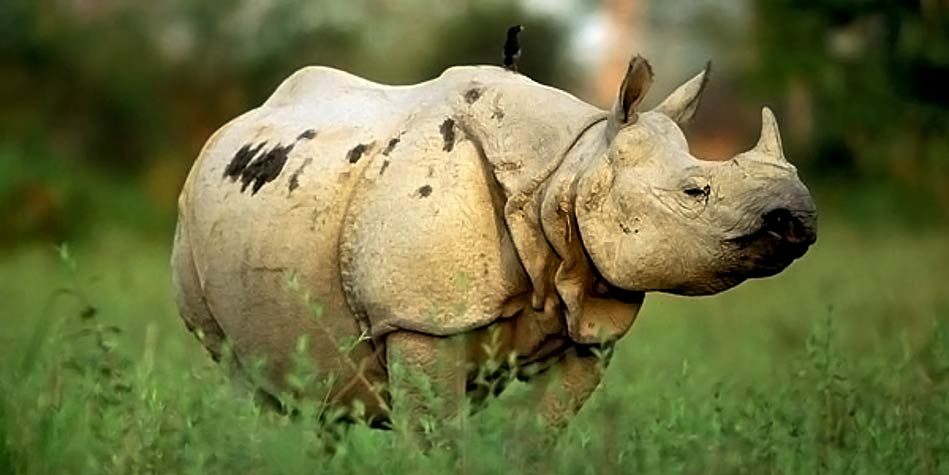 Food asian one horned rhino thanks
