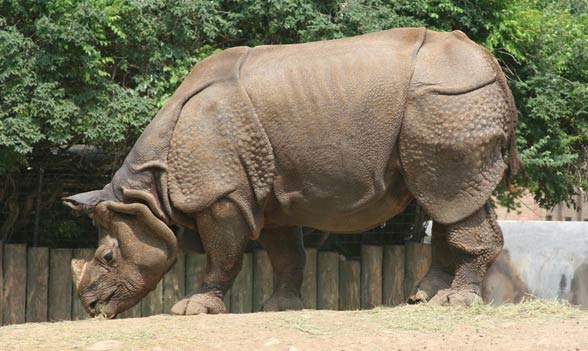 Indian rhinoceros / Horned rhinoceros