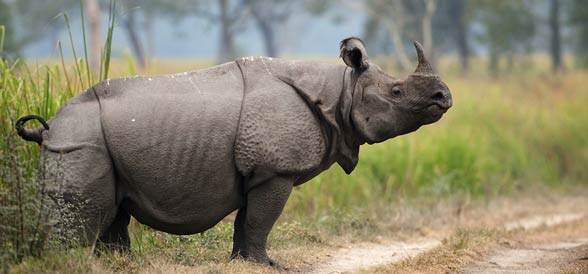Indian_rhinoceros8.jpg