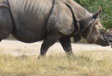 Photo of Javan rhinoceros – silent loner