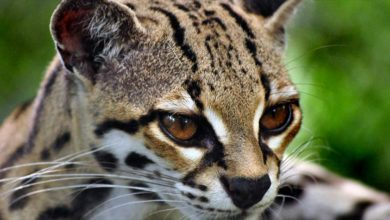Photo of Margay – cat with gorgeous eyes