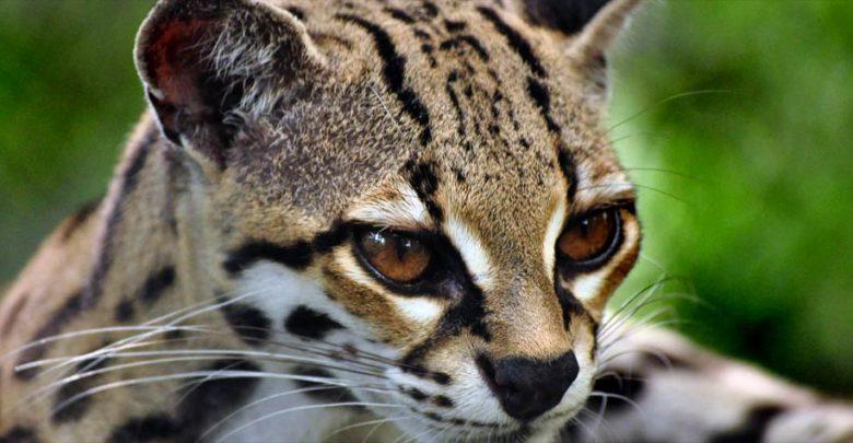 Photo of Margay – cat with gorgeous eyes