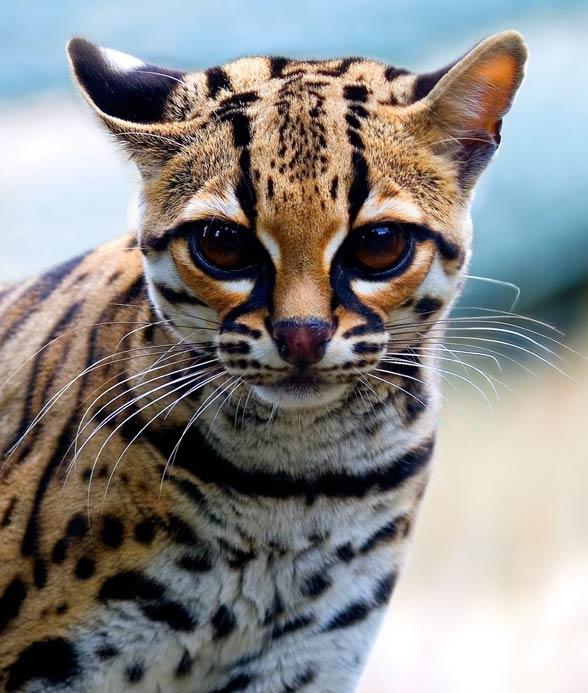 Margay (Leopardus wiedii)