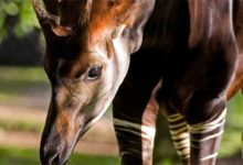Photo of Okapi (Okapia johnstoni) – the African unicorn