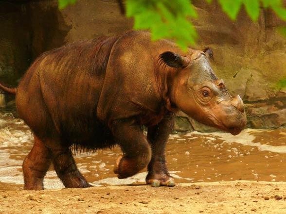 Sumatran rhinoceros (Dicerorhinus sumatrensis)