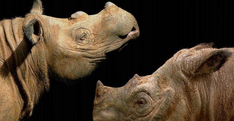 Photo of Sumatran rhinoceros – the smallest rhino