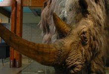 Photo of Woolly rhinoceros – Pleistocene rhino