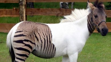 Photo of Zebroid – the crossbred of a zebra and a horse