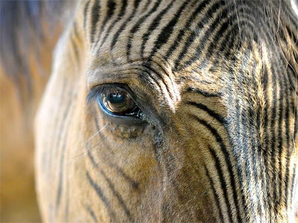 Zebroid - a crossbred of a zebra and a horse | DinoAnimals com
