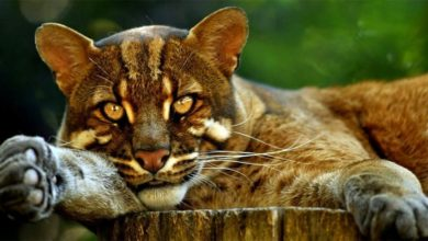 Photo of Asian golden cat