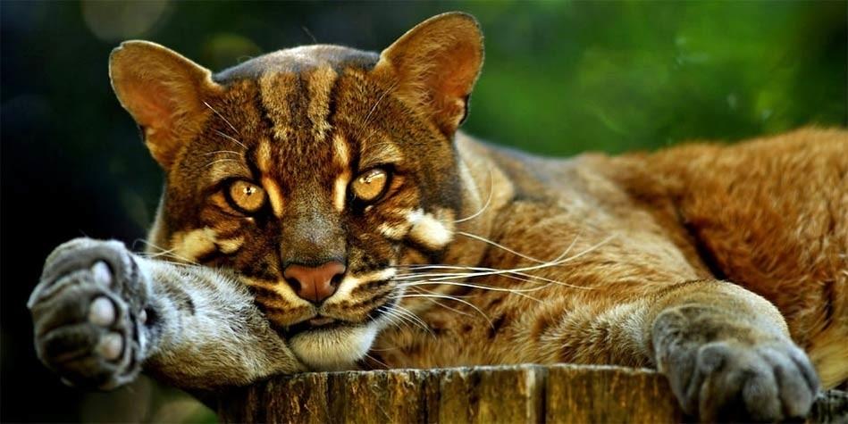 info cat Asian golden