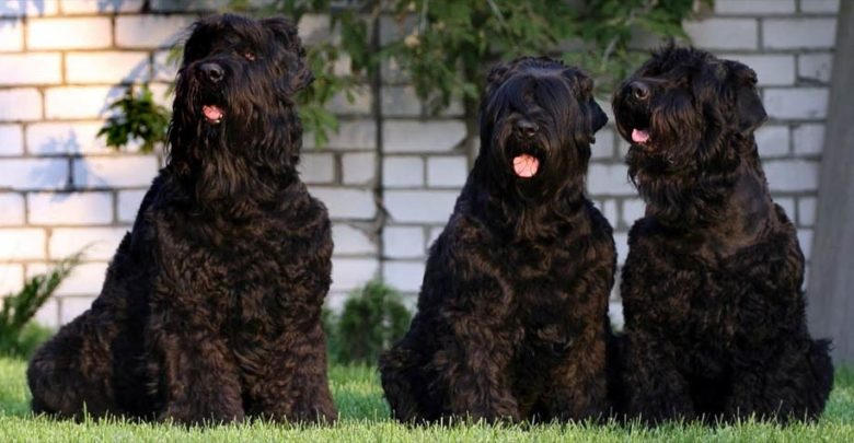 Photo of Black Russian Terrier – Stalin's dog