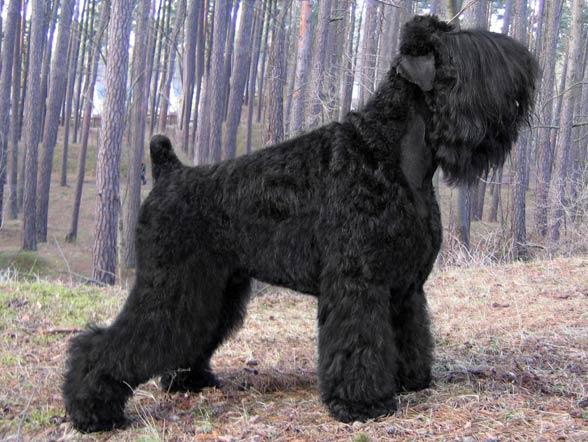Black Russian Terrier.