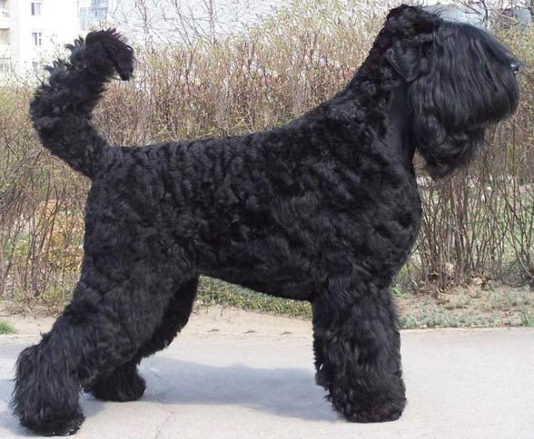 Black Russian Terrier.