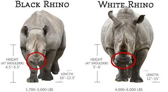 Differences between the white rhinoceros and the black rhinoceros. Weight in pounds, size in ft.