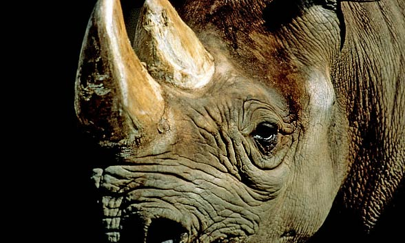 Black rhinoceros, typical rhinoceros, hook-lipped rhinoceros (Diceros bicornis).