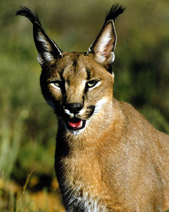 how to create a caracal domestic cat