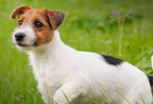 Photo of Jack Russell Terrier – charismatic hunting dog
