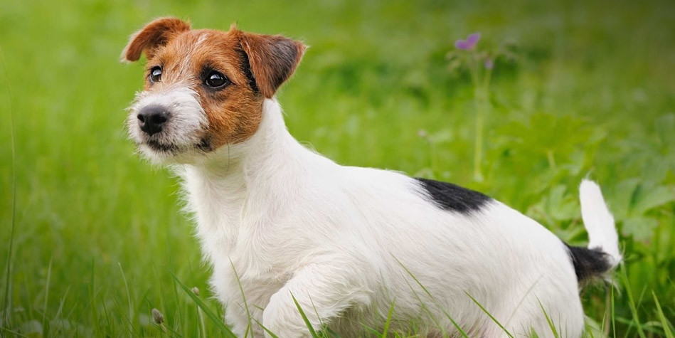 Jack Russell Terrier Charismatic Hunting Dog Dinoanimals Com