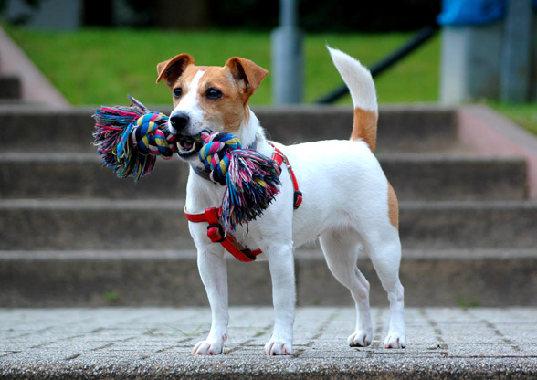 Jack Russell Terrier.