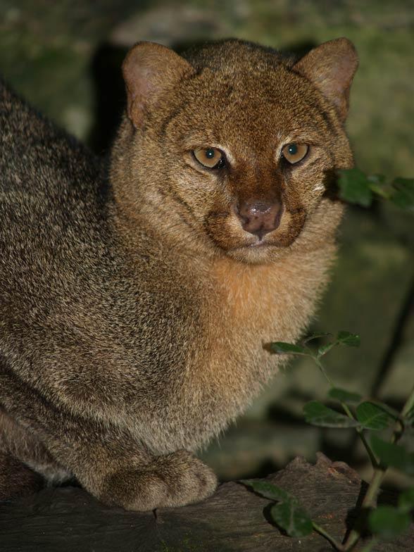 Jaguarondi - Puma yagouaroundi