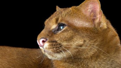 Photo of Jaguarundi – eyra cat