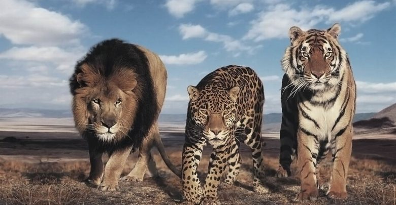 Photo of The largest wild cats – Top 10