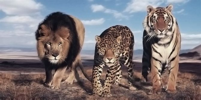 The largest wild cats