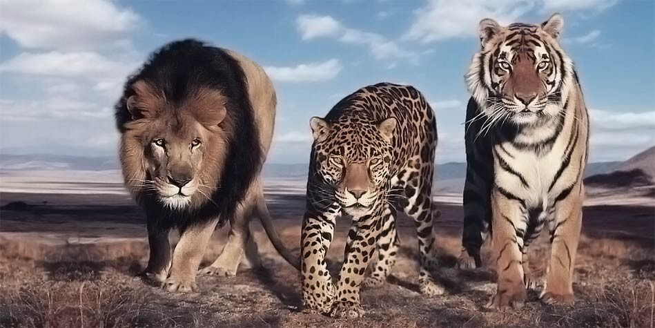 The largest wild cats – Top 10 | DinoAnimals.com