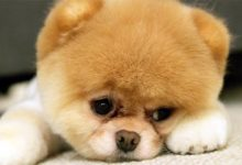 Photo of Pomeranian – the cutest dog?