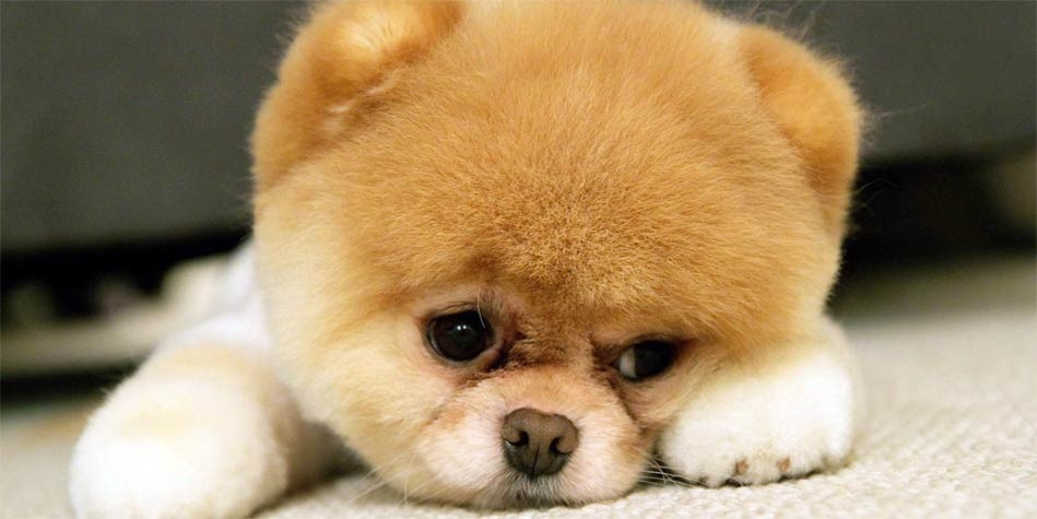 Pomeranian The Cutest Dog Dinoanimals Com