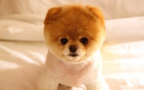 Pomeranian (dog).
