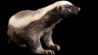 Photo of Ratel, honey badger – the bravest animal in the world