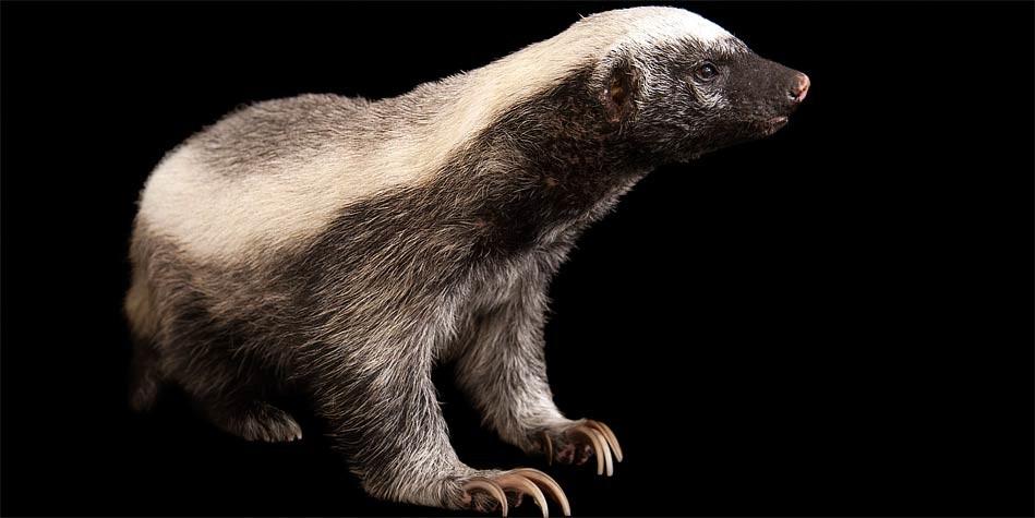 ratel honey badger the bravest animal in the world dinoanimals com