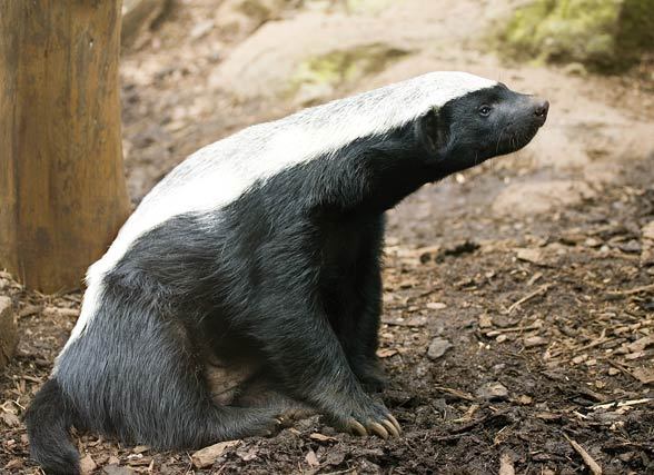 Ratel, the honey badger (Mellivora capensis).